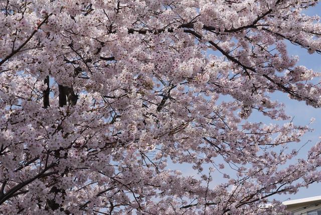 sakura_06.jpg