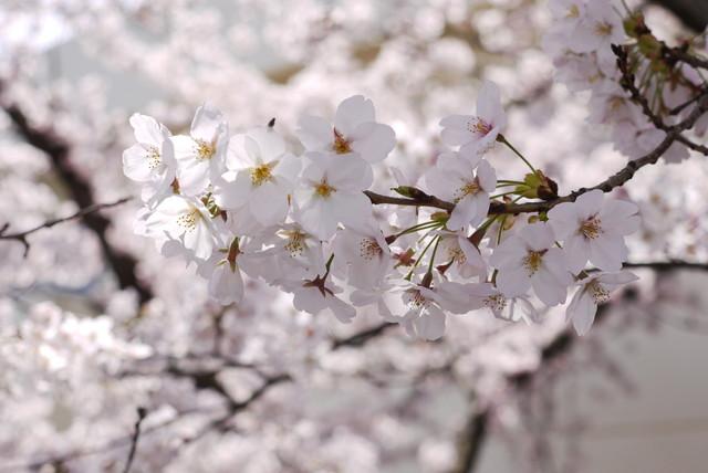 sakura_08.jpg
