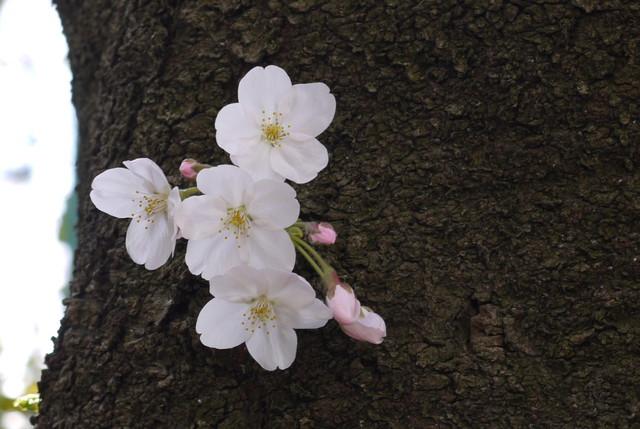 sakura_09.jpg