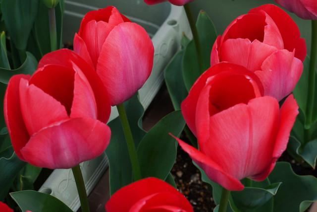 tulip02_01.jpg