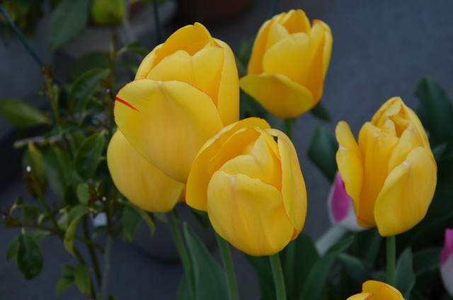 tulip02_02.jpg