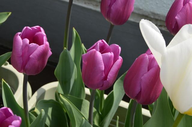tulip02_03.jpg