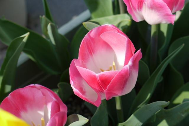 tulip02_04.jpg