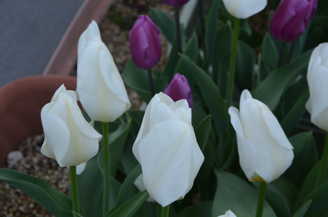 tulip02_05.jpg