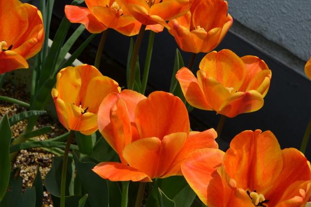 tulip02_07.jpg