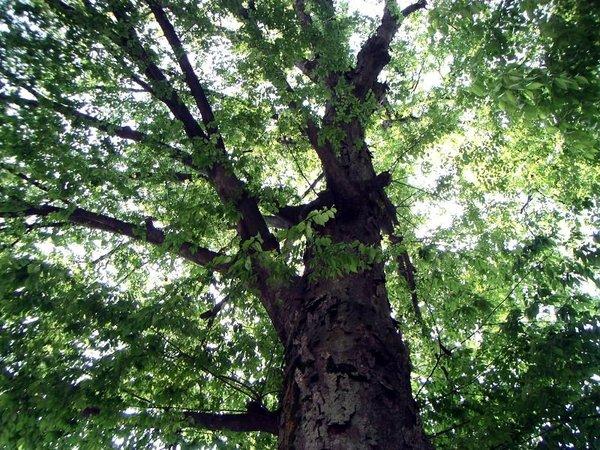 1bigtree.jpg