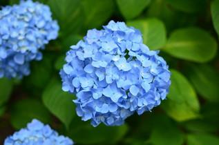 ajisai_09.jpg
