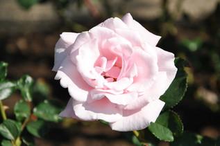 rose_08.jpg