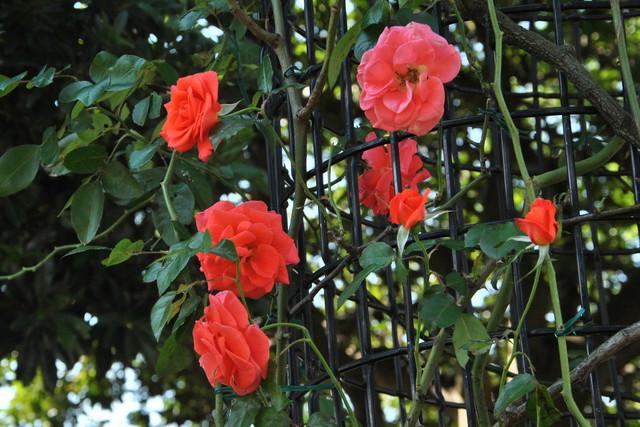 rose_09.jpg