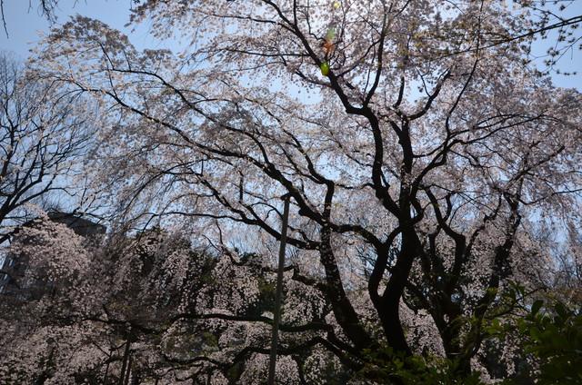 sakura_000.jpg