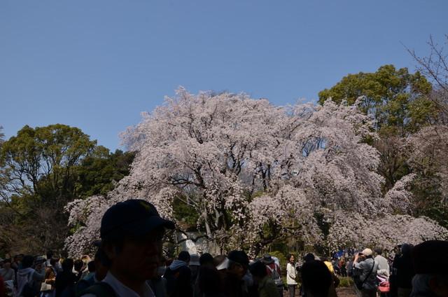 sakura_001.jpg