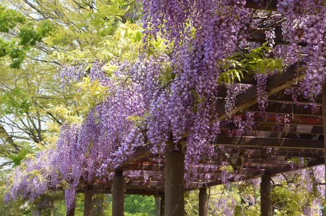 wisteria_02.jpg