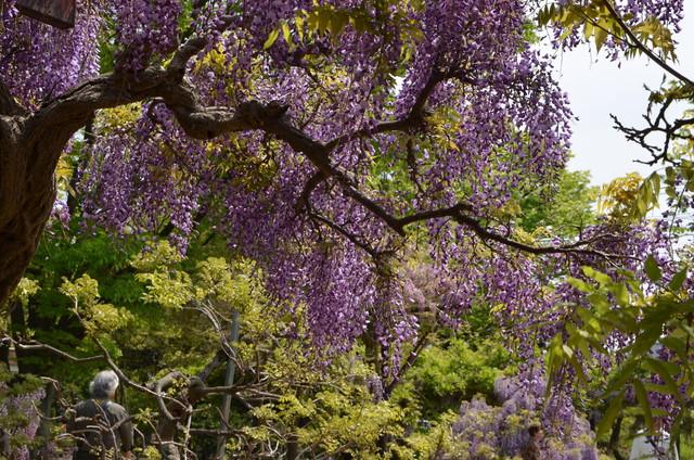 wisteria_04.jpg