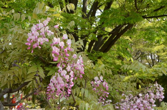 wisteria_08.jpg