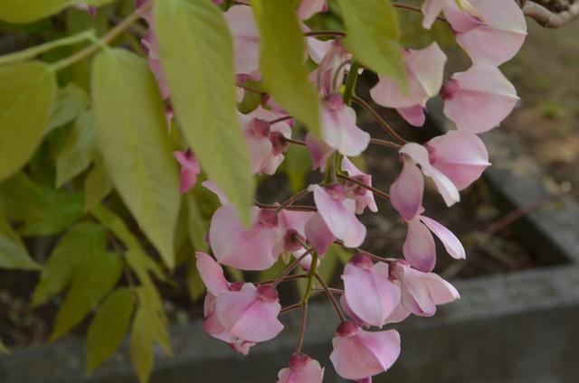 wisteria_09.jpg